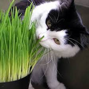 Cat Oat Grass